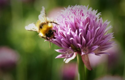 Woodland clearings encourage iconic species like the bumble bee. Image © jointhedots on Flickr